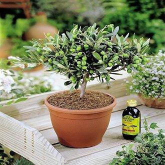 Trouverleboncadeau olivier en pot - Arrosage olivier en pot ...