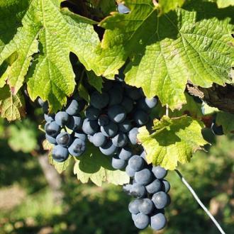 6 pieds de vigne en location au domaine !